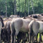 die Dülmener Wildpferde